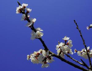早春の東京都薬用植物園杏の花(3月30日) - シニアデジカメギャラリー