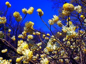 早春の東京都薬用植物園ミツマタ(3月30日) - シニアデジカメギャラリー