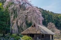 桜と夕陽 - デジカメ写真集