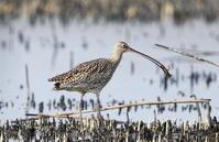 ホウロクシギ ④ 捕食場面を - 私の鳥撮り散歩