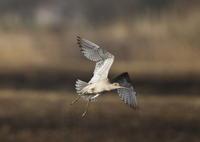 ホウロクシギ ⑤ 飛翔 - 私の鳥撮り散歩