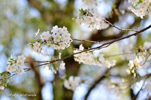 今日のさくら3月30日@光が丘公園 - 今日の小さなシアワセ
