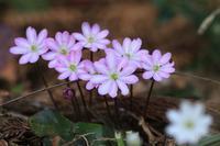 2017.03.30 ミスミソウ(雪割草)咲いています - 安田の自然(ユキワリイチゲ)吉舎町情報