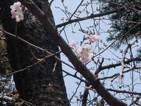 2017/3/30(木) ぽかぽかあったかい、桜も咲き始めた - 今日の記憶