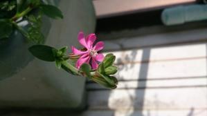 桜の開花♪ - ギャラリー星ケ丘