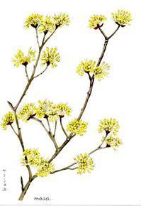 花は黄色い「さんしゅゆ」 - がちゃぴん秀子の日記