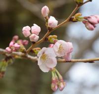 【桜】情報 No.1   開花しました!  - 名鉄犬山ホテル情報