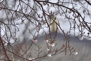 開花宣言 (ワタシ的@ 2017 Sakura - 東大寺が大好き