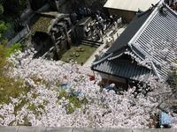 うれしい一言と京都清水寺の桜 - ペルージャ イタリア語・日本語教師 なおこのブログ - Fotoblog da Perugia