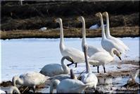田園の白鳥 (長沼町) - 北海道photo一撮り旅
