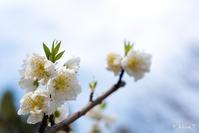 桃とか梅とか... - ◆Akira's Candid Photography