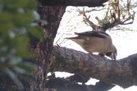 お城にアオバト - 野鳥写真日記 自分用アーカイブズ