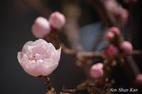 花桃が咲き始めました  2017年3月30日 - LLC徒然