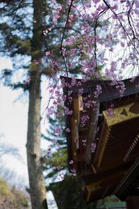 枝垂れ桜 満開 - 彩りの軌跡