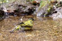 マヒワの水浴び - T/Hの野鳥写真-Ⅱ