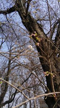 桜の花がほころび始めました。 - 骨董屋雅樂のつれづれなるままに