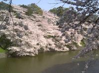 桜といえば… - 美瑛生活 -IN MY LIFE-