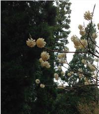 「花に聞くvol.13三椏」に参加します。OPAギャラリー - vogelhaus note
