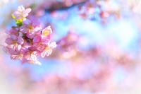 河津桜! ~淀水路~ - Prado Photography!