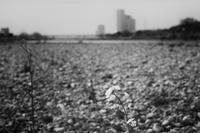 河川敷にも春が… - Photo & Shot