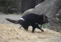 多摩動物公園 タスマニアデビル - どうぶつたちと私