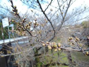 もう!桜咲きますよね?。 - 一刻堂の裏方日記