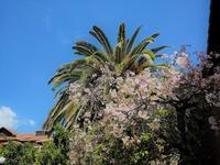 桜とヤシの木 - ラマがいない生活