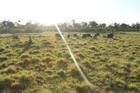 バッファロー、カンムリヅル、象の赤ちゃんたち(到着して5日目のサファリ) - 旅プラスの日記