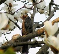 『ことり』下(Petits oiseaux3) - ももさえずり*紀行編*cent chants de chouette