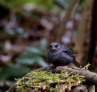 山間のクロジなど・・・ - 一期一会の野鳥たち