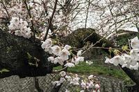 桜は未だ三分咲き! - 写真家 永嶋勝美の「散歩の途中で . . . !」(DGSM Print)