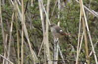 ジョウビタキ - 私の鳥撮り散歩