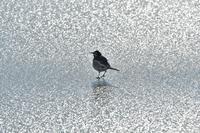 氷上のハクセキレイ - やぁやぁ。