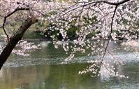 大宮公園 桜情報 第 2報 - さいたま日記