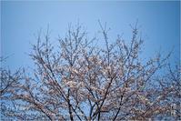 桜咲く、東京 - Yin Yang 陰陽(アジアンフォトエッセイ)