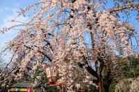 Opening!京都の桜2017 長建寺の糸桜 - 花景色-K.W.C. PhotoBlog