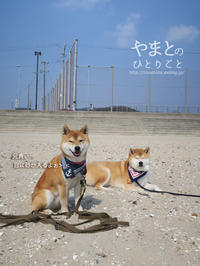 柴犬と海 【動画あり】 - yamatoのひとりごと