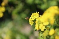 飛鳥 甘樫の丘 菜の花にはミツバチが来てます。 - 平凡な日々の中で
