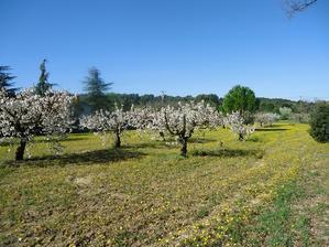 =桜満開= - 南仏プロヴァンスの大自然の魅力