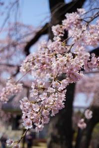 お寺さんの枝垂れ桜、満開!リベンジできました♪ 3 - Let's Enjoy Everyday!