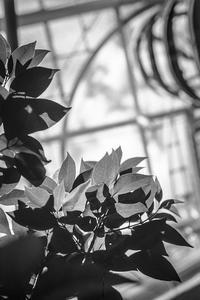 2017年3月31日 早春の光を透過する観葉植物 - Silver Oblivion