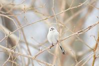 そしてシマエナガ - Bird-Watching Journal