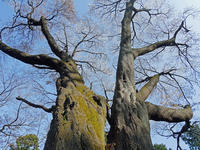 六国見山のシンボルツリー「夫婦桜」が満開!3・30 - 北鎌倉湧水ネットワーク