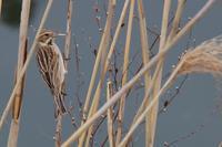 ススキをペリペリ オオジュリン - 野鳥写真日記 自分用アーカイブズ