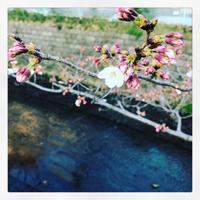 桜咲く - Baby smile R* - ハハゴコロver2