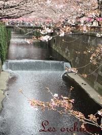 今朝の中目黒の桜&4月のスケジュール - オルキデ JOURNAL
