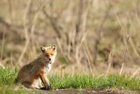 Ezo red fox…6 - advance*k