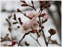 桜咲いたよ、地元開花宣言だね~ - さくらおばちゃんの趣味悠遊