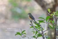 公園のルリちゃん - とことんデジカメ ♪野鳥写楽