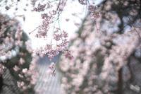 桜ボケ - Today's one photograph